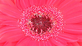 桃红色大丁草花的花粉在宏观射击里面的 库存图片