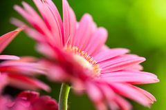 桃红色大丁草雏菊在庭院里 库存图片