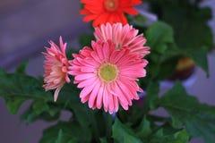 桃红色大丁草雏菊绽放在一个围场 库存照片