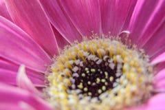 桃红色大丁草,开花摘要 图库摄影