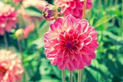 桃红色大丽花在庭院里 免版税库存图片