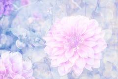 桃红色大丽花在庭院里 免版税库存照片