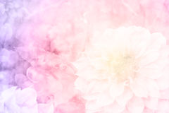 桃红色大丽花在庭院里 图库摄影