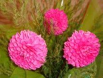 桃红色大丽花是花,为使目炫秀丽是著名的,激发激情并且推挤在疯狂的行动 免版税库存照片