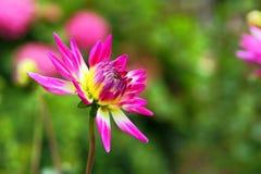 桃红色大丽花花在庭院里 免版税库存图片