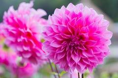 桃红色大丽花花在庭院里 库存图片
