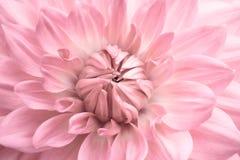 桃红色大丽花 宏观照片的桃红色五颜六色的花关闭与与新进展的大丽花头状花序细节的淡色 库存图片