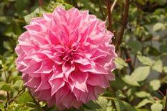 桃红色大丽花flowers.pink植物群 免版税库存图片
