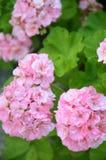 桃红色大竺葵在夏天庭院里 免版税库存照片