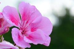 桃红色大竺葵在庭院里 图库摄影