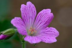 桃红色大竺葵在庭院里 免版税库存照片