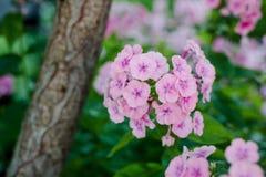 桃红色大竺葵或天竺葵在庭院 免版税库存照片