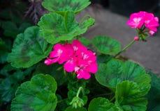 桃红色大竺葵或天竺葵花和植物 免版税库存照片