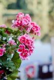 桃红色大竺葵或天竺葵花  免版税库存图片