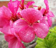 桃红色大竺葵花和雨下落水 免版税库存照片