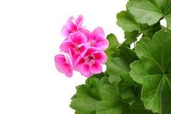 桃红色大竺葵-与叶子的天竺葵。 免版税库存图片