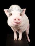 桃红色大肚子猪 免版税库存照片