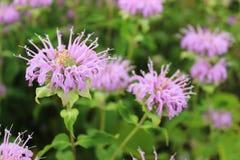 桃红色大草原野花在北伊利诺伊 免版税库存照片