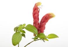 桃红色大虾厂明亮的花和叶子  库存图片
