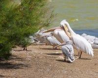 桃红色大鸟更加伟大的火鸟, Phoenicopterus ruber,在水中,徒步旅行队公园,法国 免版税库存照片