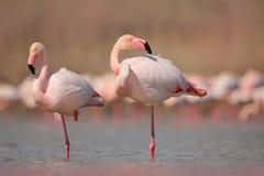 桃红色大鸟更加伟大的火鸟, Phoenicopterus ruber,在水中, Camargue,法国 火鸟清洁全身羽毛 野生生物动物s 免版税库存图片