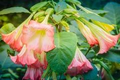 桃红色天使的喇叭花(Brugmansia suaveolens)在树 增殖比 库存图片