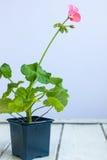 桃红色天竺葵花,大竺葵, storksbills,黑罐的家庭植物 免版税库存照片