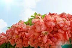 桃红色夫人Queen蓝天和阳光背景的诗丽吉Flower在庭院里 库存照片