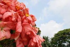 桃红色夫人Queen蓝天和阳光背景的诗丽吉Flower在庭院里 免版税库存照片
