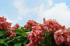 桃红色夫人Queen蓝天和阳光背景的诗丽吉Flower在庭院里 免版税库存图片