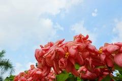 桃红色夫人Queen蓝天和阳光背景的诗丽吉Flower在庭院里 库存图片