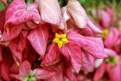 桃红色夫人Queen诗丽吉Flower作为背景在庭院里 图库摄影