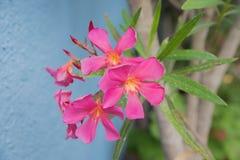 桃红色夹竹桃开花反对蓝色房子前面在庭院里 库存图片