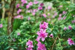 桃红色夹竹桃开花背景,热带密林叶子 库存图片