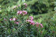 桃红色夹竹桃花和叶子 库存照片