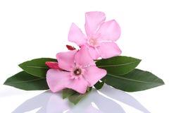 桃红色夹竹桃花和叶子 免版税图库摄影