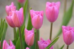 桃红色宏观背景上色了春天郁金香花 库存图片