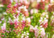 桃红色小开花的响铃和紫色颜色花卉背景  库存照片