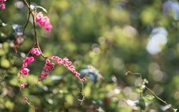 桃红色小花在有绿色bokeh的绿色自然庭院里墙纸或背景的 Antigonon leptopus花,共同地 免版税库存图片