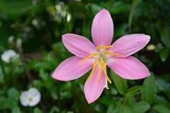 桃红色属石蒜科 库存图片