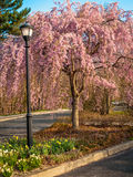 桃红色山茱萸在公园 免版税库存照片