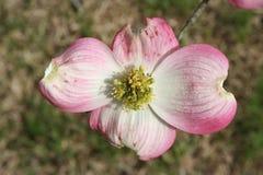 桃红色山茱萸开花 库存图片