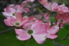 桃红色山茱萸花在春天 免版税库存图片
