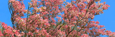 桃红色山茱萸绽放-全景 免版税库存图片