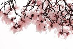 桃红色山茱萸 库存照片