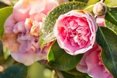 桃红色山茶花芽和花与雨珠 免版税库存照片
