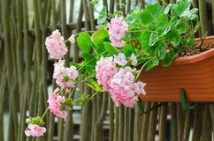 桃红色庭院大竺葵在罐,射击/大竺葵f的关闭开花 库存图片