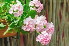 桃红色庭院大竺葵在罐,射击/大竺葵f的关闭开花 图库摄影