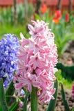 桃红色庭院或荷兰风信花 免版税图库摄影