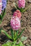 桃红色庭院或荷兰风信花 免版税库存照片